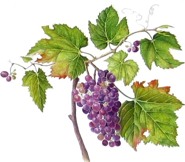 images of grape vines - photo #44